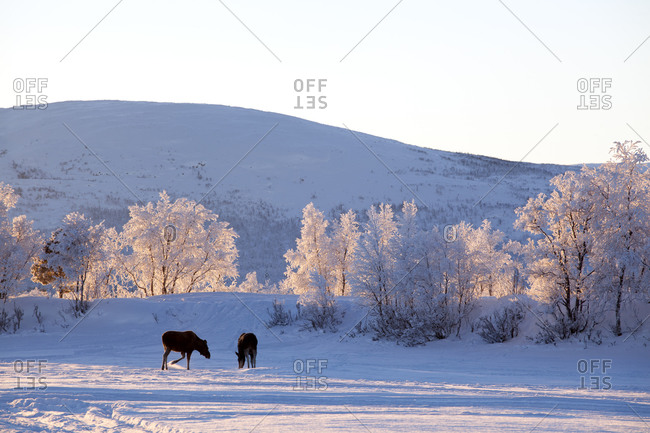 Moose at winter - Offset Collection