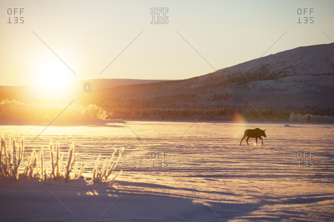 Moose at winter