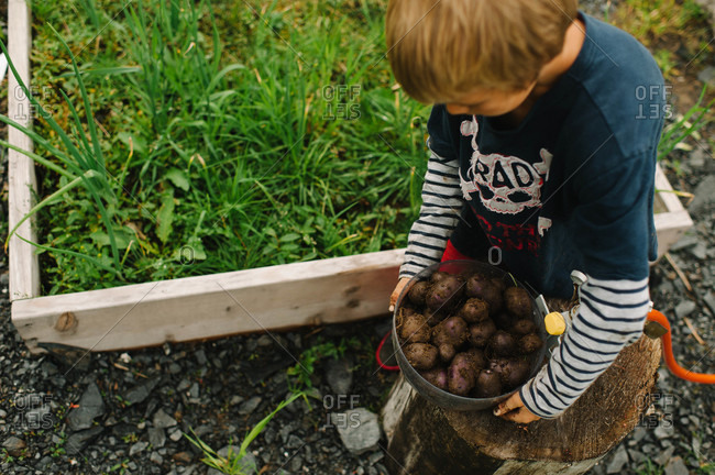 Overhead view of boy holding a heap of tuber roots in the garden