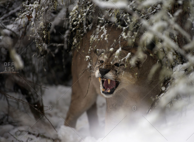Puma snarling in the snow