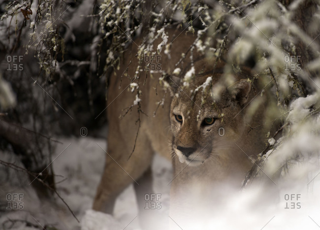 Puma hidden amongst snowy branches