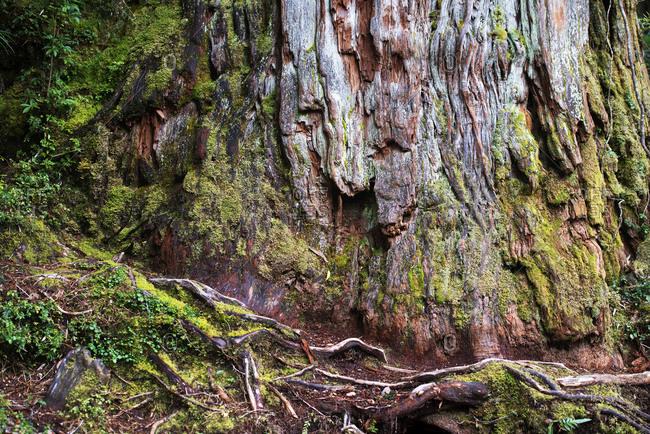 Giant tree trunk