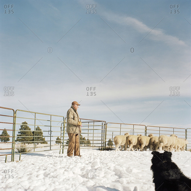 Kiowa, Colorado, USA - December 30, 2011: Ernie Hartnagle herding sheep