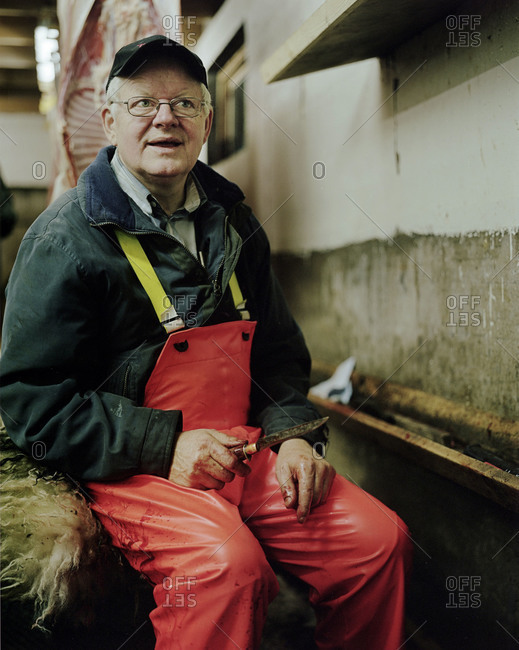 Faroe Islands - October 19, 2011:  A man killing a sheep in a slaughterhouse