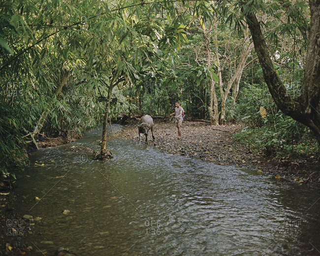 Balabac, Philippines - February 11, 2013: A boy leads a water buffalo across a stream