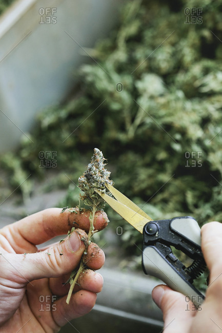 Person cutting off excess leaves and stems from a marijuana bud