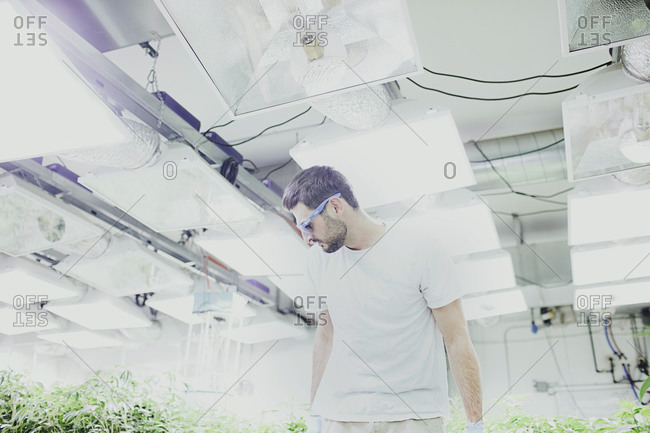 Denver, Colorado, USA - April 16, 2013: Man inspecting marijuana plants after they have been repotted in a grow house