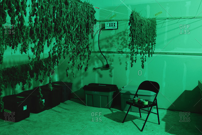 Marijuana plants drying at a grow house in Colorado