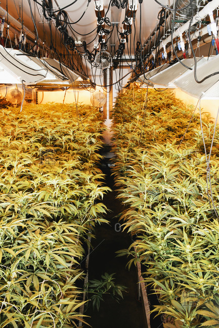 Marijuana plants growing under water-cooled lights in a grow house in Denver, Colorado