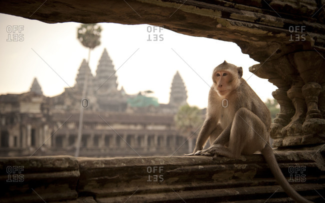 Macaque sitting on a ledge with Angkor Wat in the background