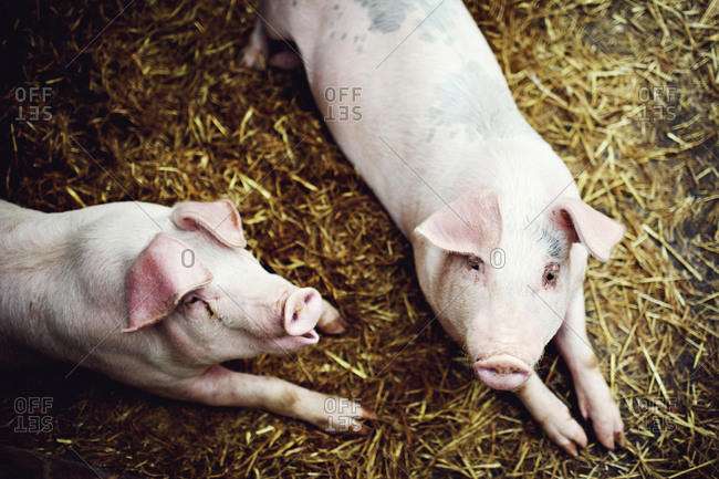 Two pigs in lying down