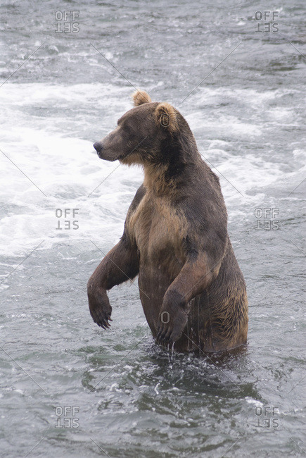 Brown bear (ursus arctos) standing in the river