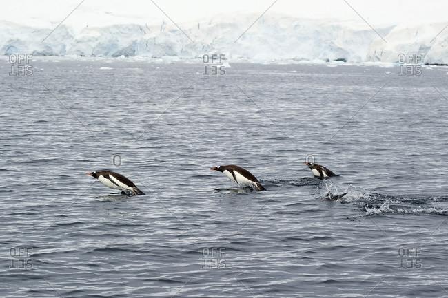 Gentoo penguins (pygoscelis papua) in the water, Antarctica