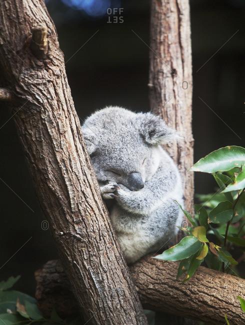 Koala, close up