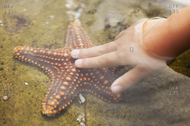 A child's hand touching a starfish