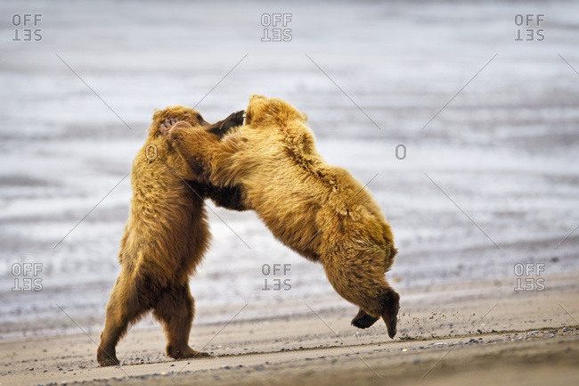 Two brown bears fighting on a beach at Lake Clarke National Park, Alaska