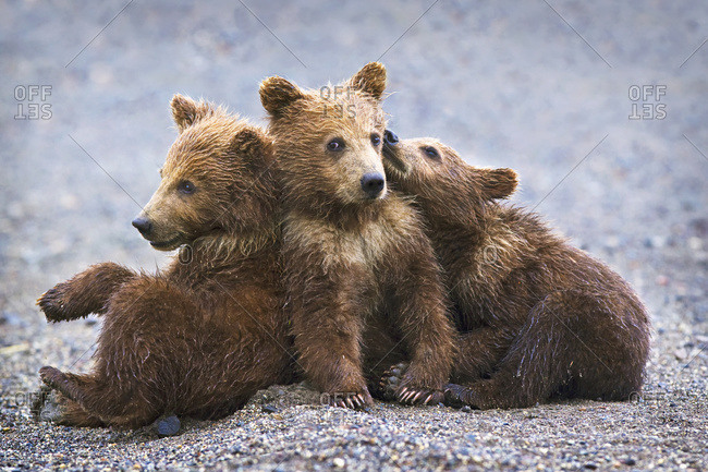 Three brown grizzly bear cubs close together at Lake Clarke National Park, Alaska