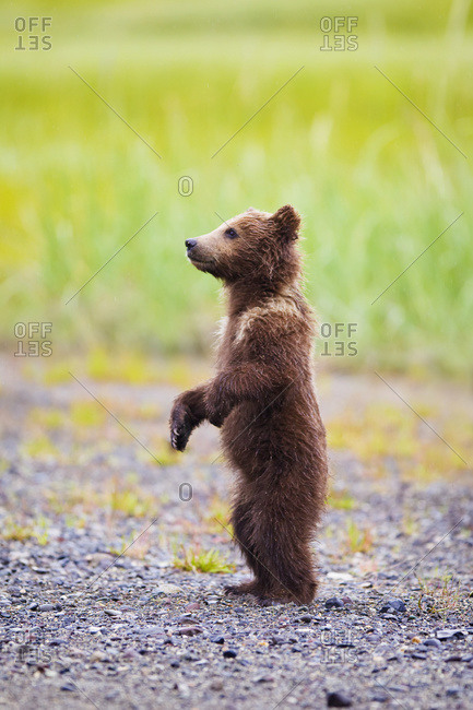 Brown bear cub standing at Lake Clarke National Park, Alaska