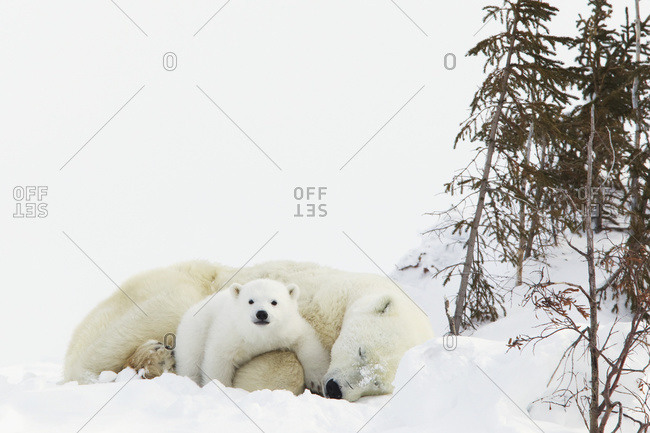 Polar bear (ursus maritimus) cub rests on her mother's legs at wapusk national park