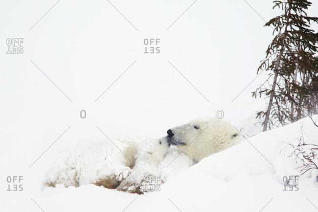 Polar bear (ursus maritimus) cub kisses her mother at Wapusk National Park, Manitoba