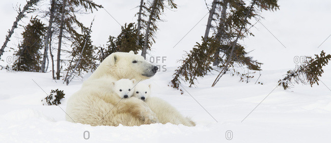 Polar bear (ursus maritimus) sow and two cubs rest on their mother's back outside their den at Wapusk National Park, Manitoba