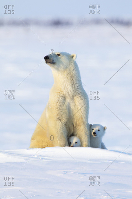 Polar bear (ursus maritimus) sow and cubs in the late afternoon sun at Wapusk National Park, Manitoba