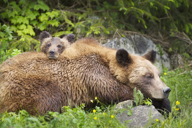 Grizzly bear (ursus arctos horribilis) cub and sow at the Khutzeymateen Grizzly bear Sanctuary near Prince Rupert, British Columbia