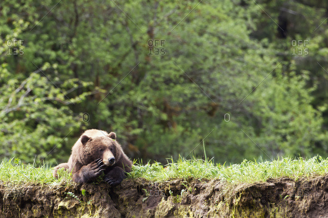 Grizzly bear (ursus arctos horribilis) who appears to be deep in thought at the Khutzeymateen Grizzly bear Sanctuary near Prince Rupert, British Columbia