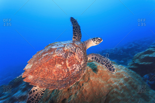 Hawksbill turtle (eretmaochelys imbricata)