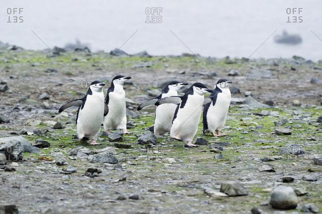 Chinstrap penguins (pygoscelis antarcticus), Antarctica