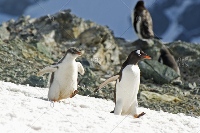 Gentoo penguins (pygoscelis papua) walking on the snow, Antarctica