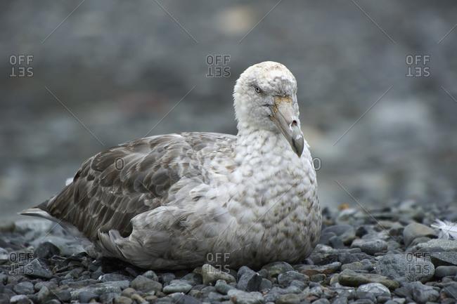 Seabird, Skue, Antarctica