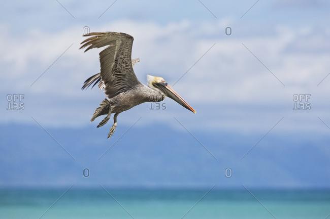 Brown pelican (pelecanus occidentalis) flying off the beach on the osa peninsula, Costa Rica