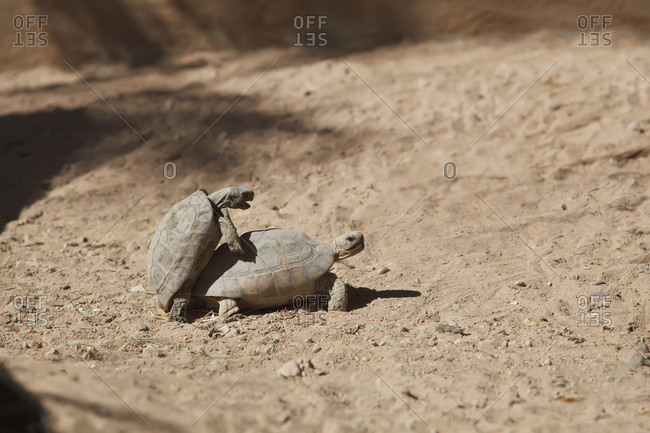 Turtles mating, Israel