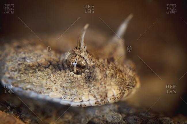 The desert horned viper (cerastes cerastes), Israel