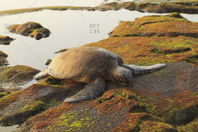 Green sea turtle (chelonia mydas) on shore at sunset