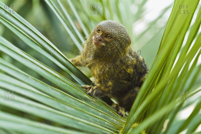 Pygmy marmoset (cebuella pymaea) - Offset