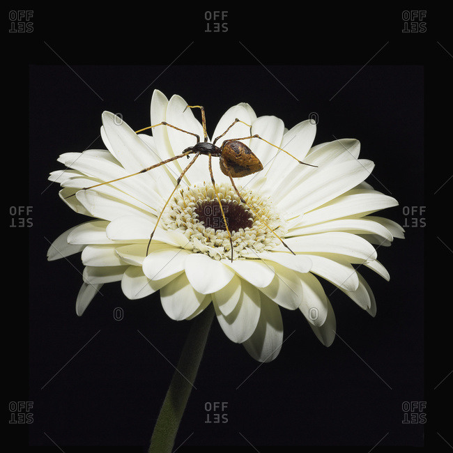 A spider sits on a white Gerbera flower