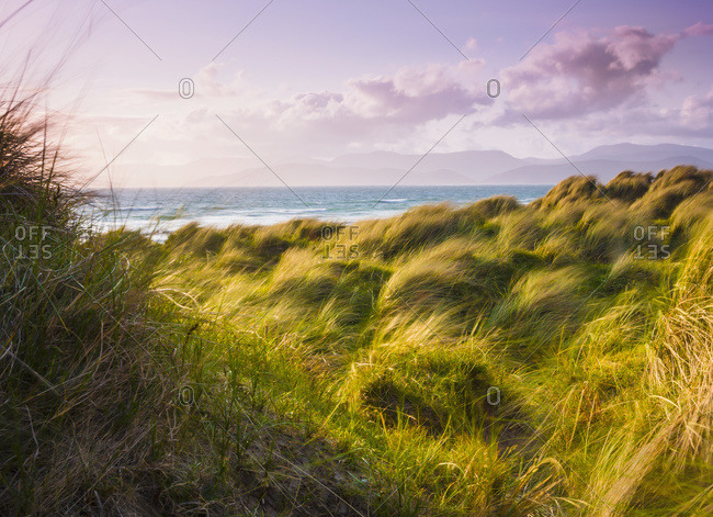 Landscape with long grass blowing in the wind at the coast, Dingle, County Kerry, Ireland