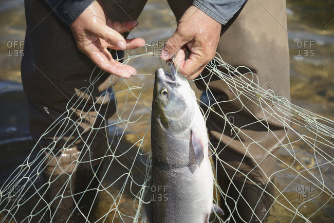 A fisherman pulls red (sockeye) salmon (oncorhynchus nerka) from a net
