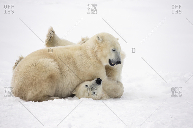 Polar bears play fighting along the shores of Hudson\'s bay