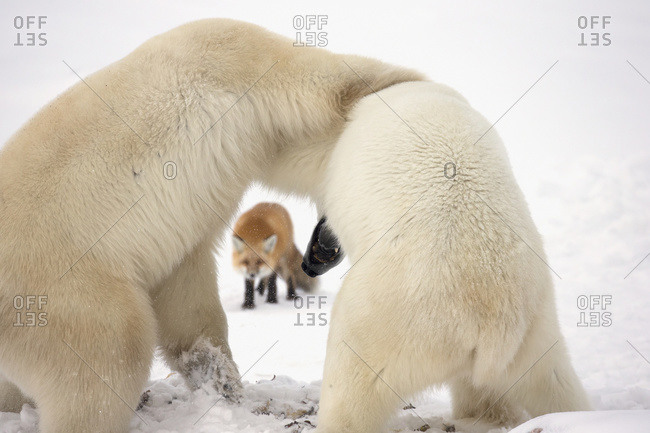 Polar bears (ursus maritimus) wrestling while waiting for Hudson\'s bay to freeze over with a red fox (vulpes vulpes) in the background
