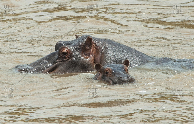 Hippopotamus adult with baby in the water