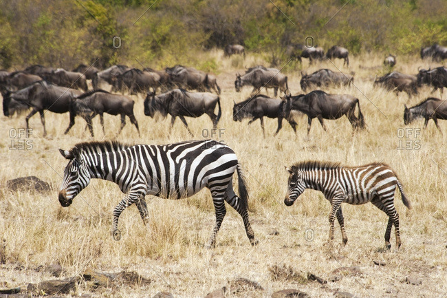 Zebras and wildebeest in the grass