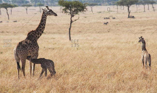 A giraffe (giraffa camelopardalis) with it's young
