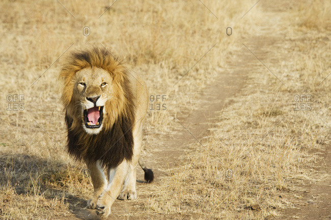 A lion yawning as he walks down a worn path in a grass field