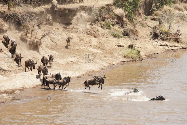 Migration of the wildebeest