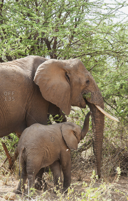 A mother elephant with baby eating from a tree