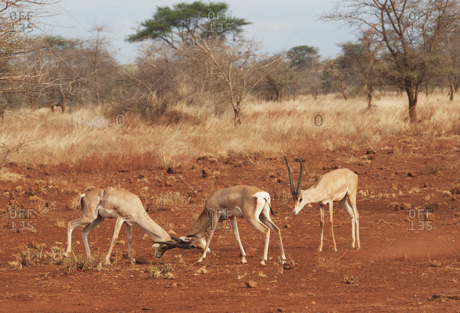 Gazelles in conflict using their antlers