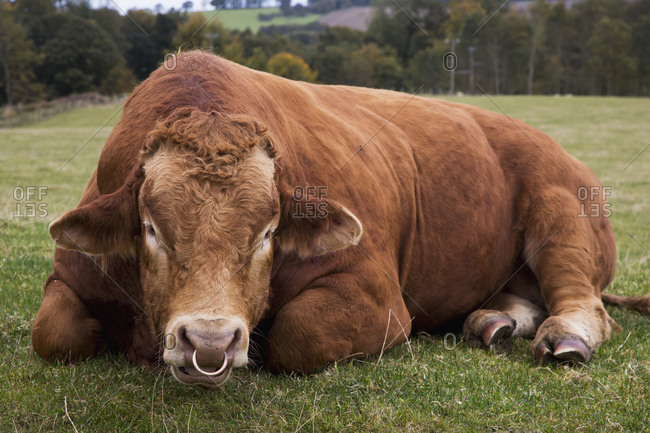 A cow with a nose ring laying down in a field